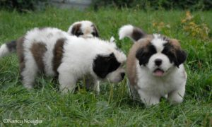 BERIC-Saint-Bernard-Puppies
