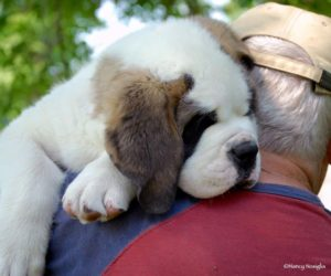 BERIC-Saint-Bernard-Puppy-Dad-Shoulder