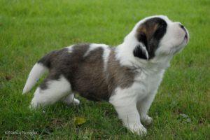 BERIC-Saint-Bernard-Puppy-Hospice-Ear