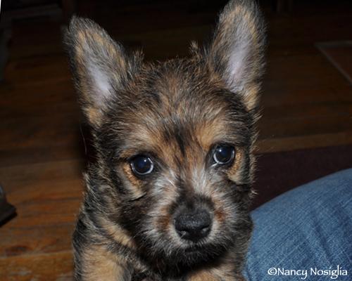 BERIC-Norwich Terriers - norich terrier puppies
