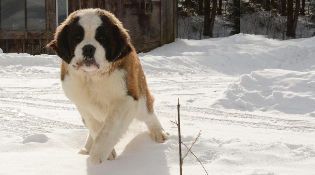 beric-rough-coat-saint-berrnard-puppy-female