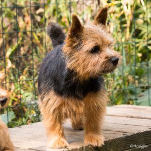 Beric_Milly_Norwich Terrier_Nancy Nosiglia Photography
