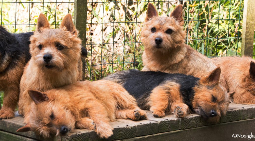 Norwich terrier-Beric Norwich-pure bred dogs
