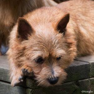 Beric_Elfie_Norwich terrier_Nancy Nosiglia photography