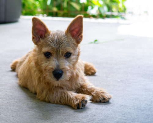 beric-ward-of-hexham-marigold-norwich-terrier